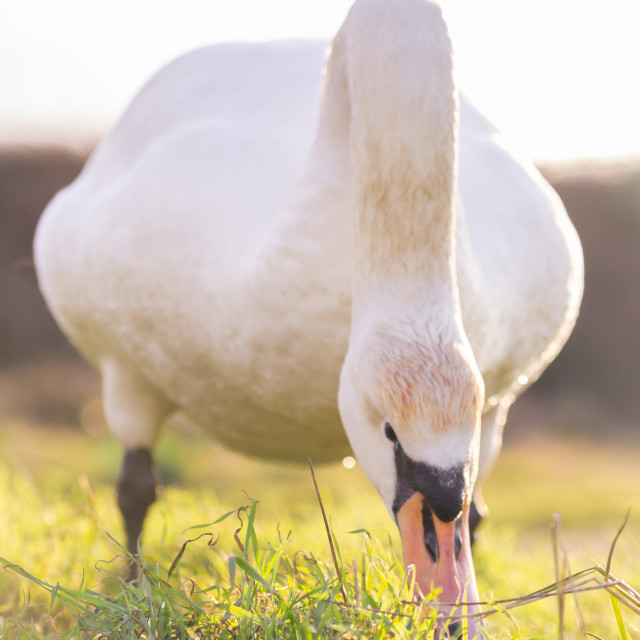 """""""A Swans Feeding Time"""" stock image"""