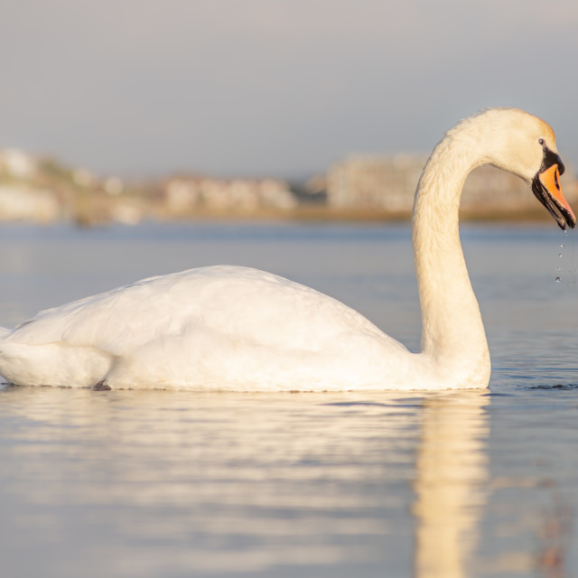 """""""Swan in the Water"""" stock image"""