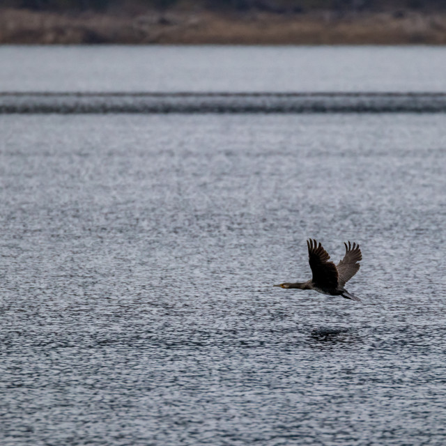 """""""Cormorant flying low over lake water"""" stock image"""