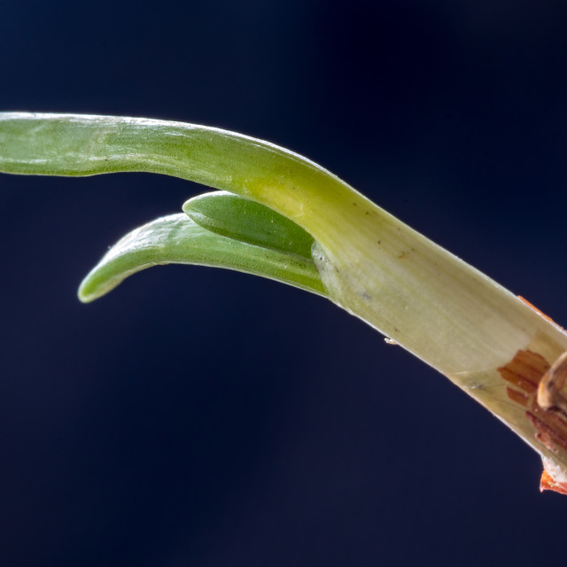"""""""Macro close up of young leaves of common onion"""" stock image"""