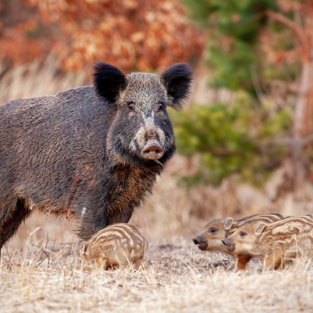 """""""Wild boar family in nature with sow and small stripped piglets."""" stock image"""