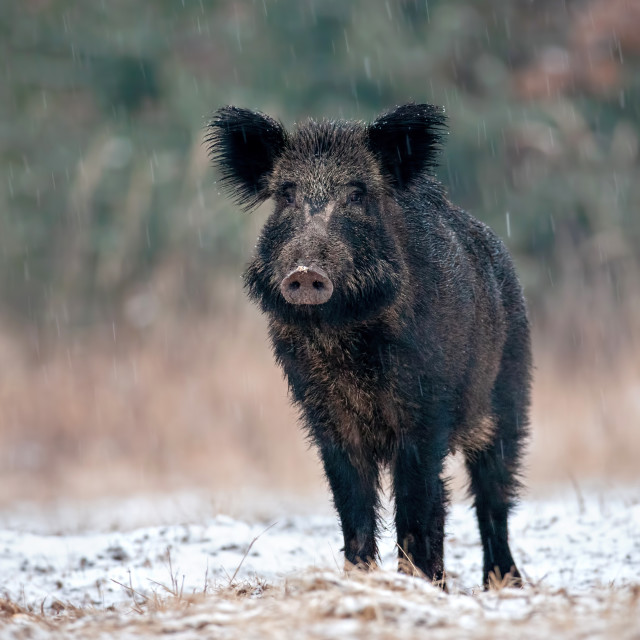 """Alerted wild boar swine in winter on snow"" stock image"