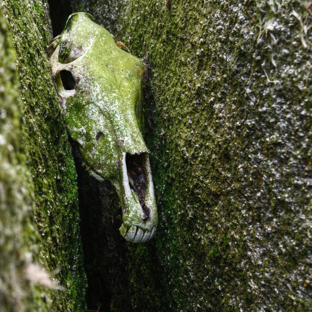 """Skull of a horse covered with green lichen"" stock image"