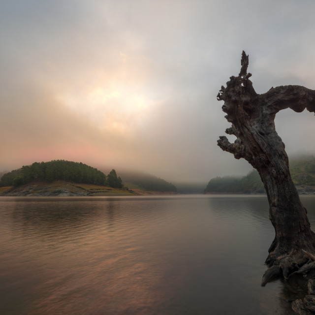 """""""The trunk of a dead tree contemplates a sunrise between mists"""" stock image"""