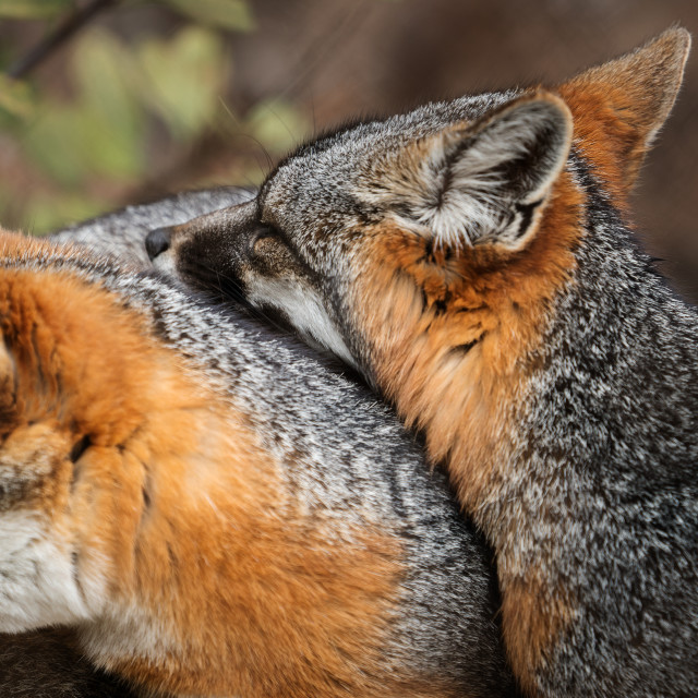 """""""Fox Brothers"""" stock image"""
