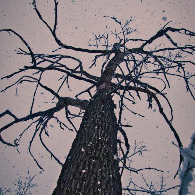 """Winter dormant tree in the snowfall"" stock image"