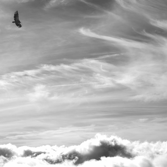 """""""Vulture on sky"""" stock image"""
