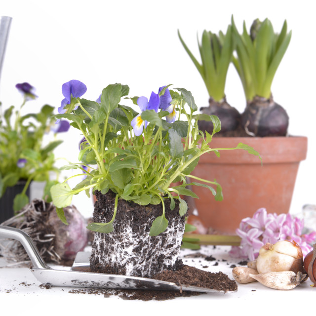"""""""viola plant on a shovel with flower bulbs and hyacinth ang gardening equipment"""" stock image"""