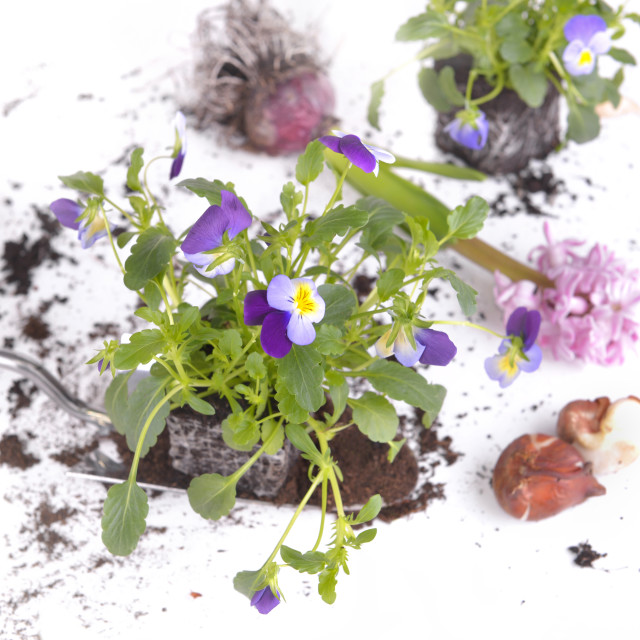 """""""viola plant on a shovel with flower bulbs"""" stock image"""