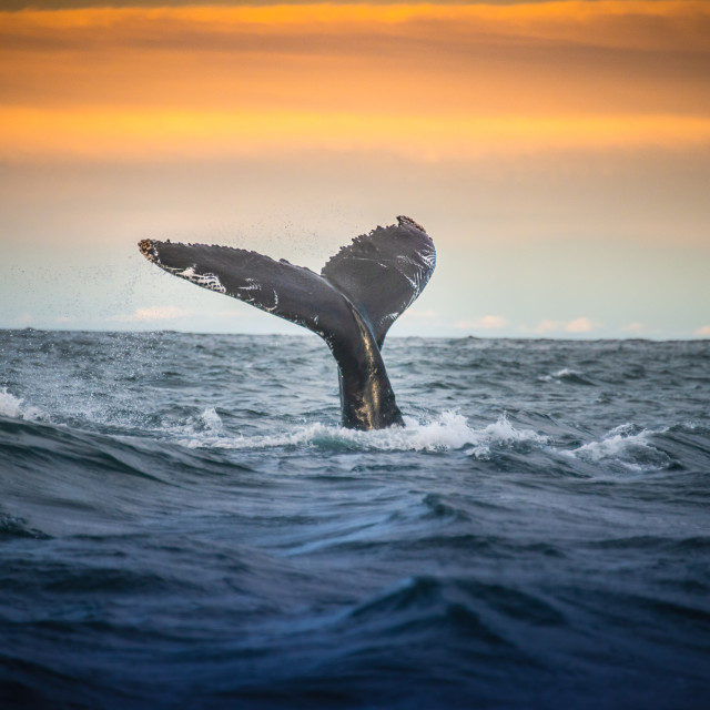 """""""Whale"""" stock image"""