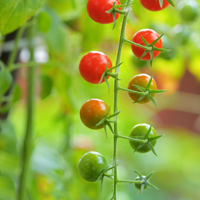 """Branch of red ripe and green unripe tomatoes"" stock image"