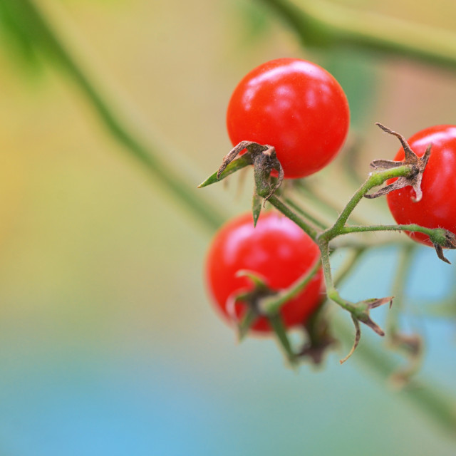 """Branch of red ripe tomatoes"" stock image"
