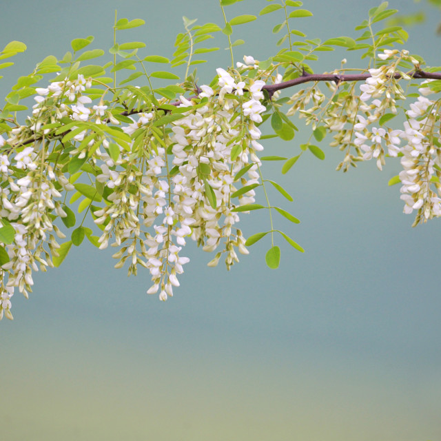 """Branch of Acacia Flowers"" stock image"