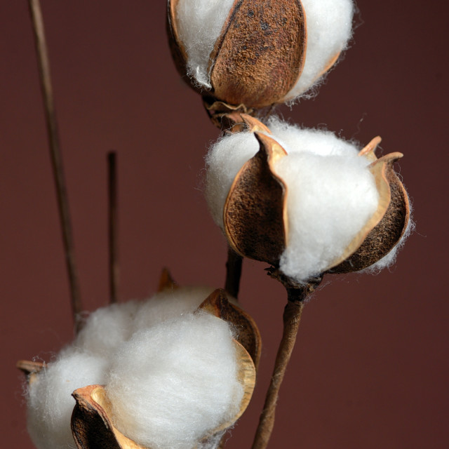 """Cotton branches in vase"" stock image"