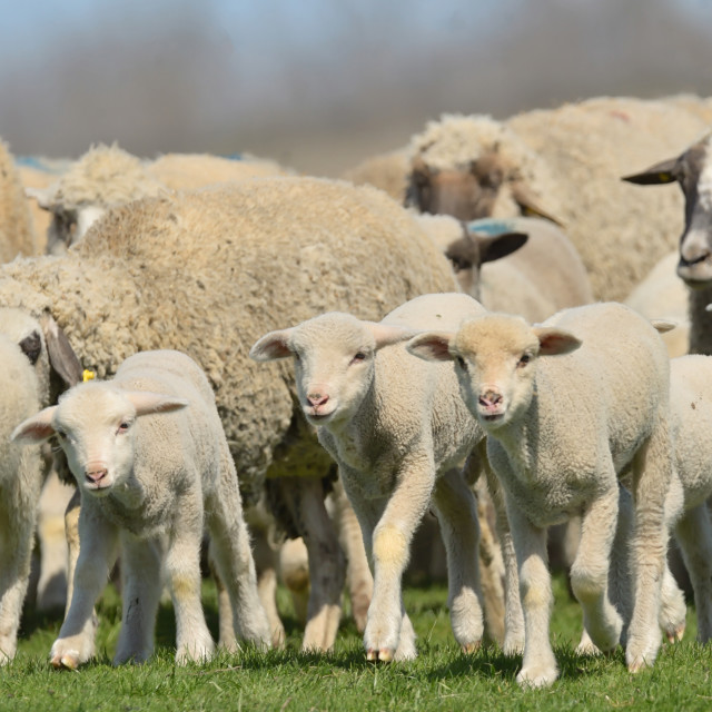 """Herd of sheep and lambs on field"" stock image"