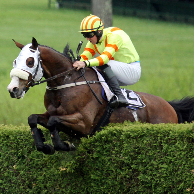 """""""Bay Steeplechase Clears Hedge Virginia"""" stock image"""