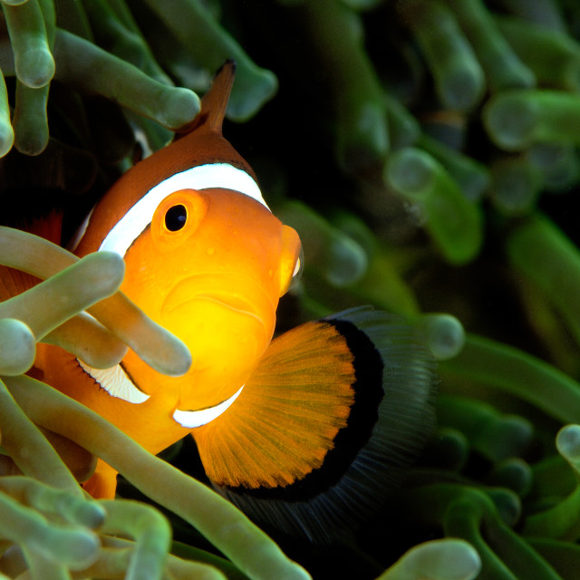 """Clown fish in a green anemone"" stock image"