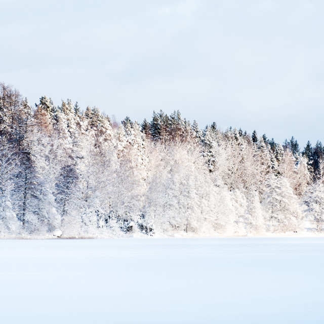 """Frosty trees"" stock image"