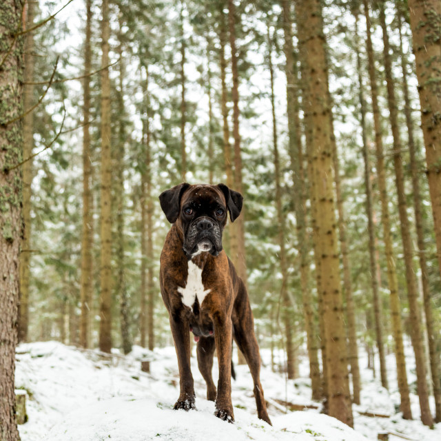 """Boxer in winter forest"" stock image"