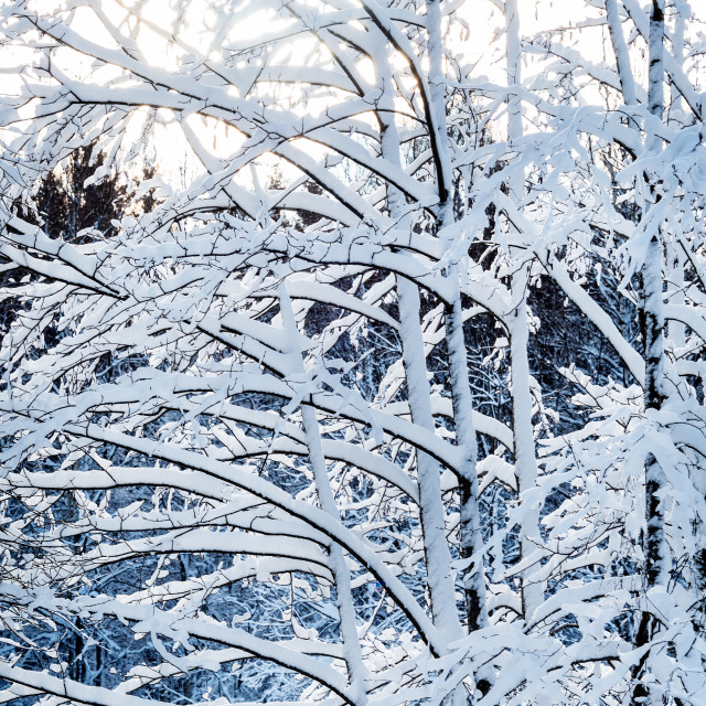 """Snowy branches"" stock image"