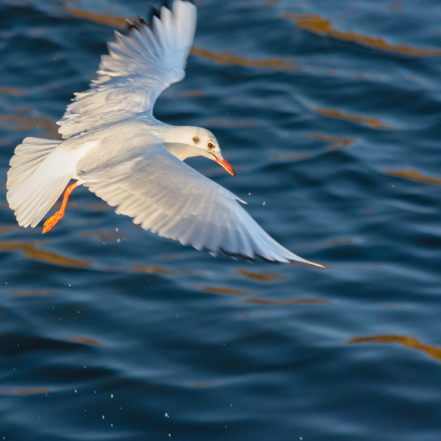 """Gull wings stretched"" stock image"