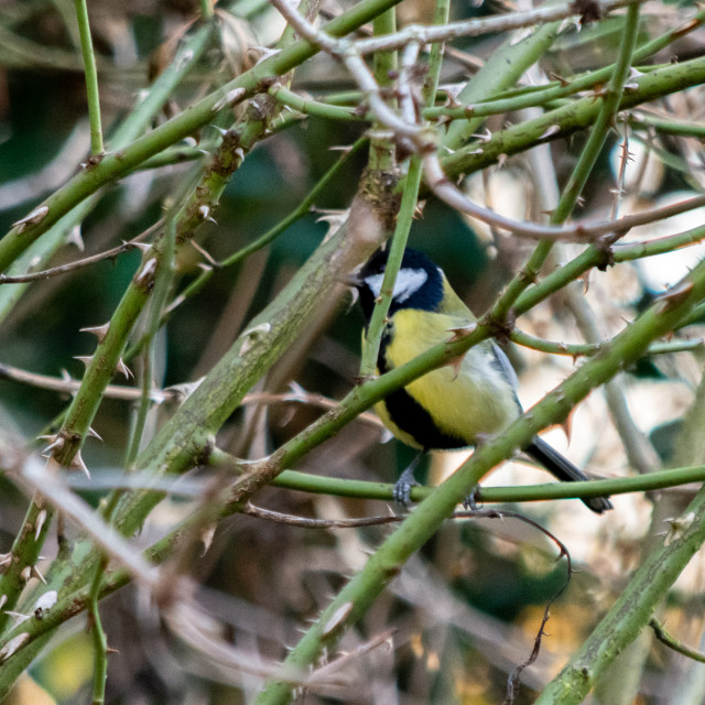 """Blue tit inside thorns"" stock image"