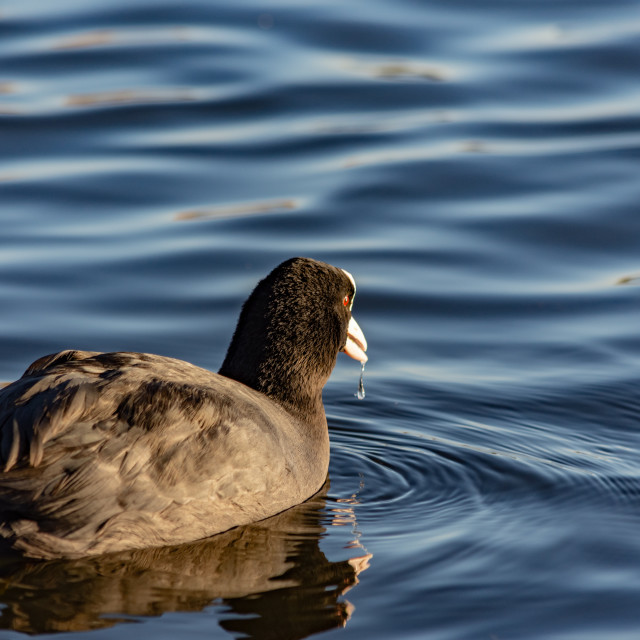 """Coot with water dribbling"" stock image"