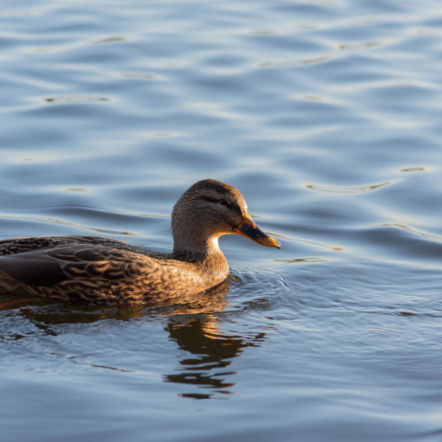 """Duck in the afternoon"" stock image"