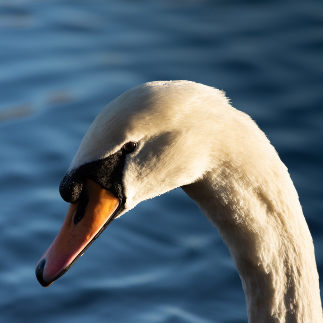 """Swan in the afternoon"" stock image"