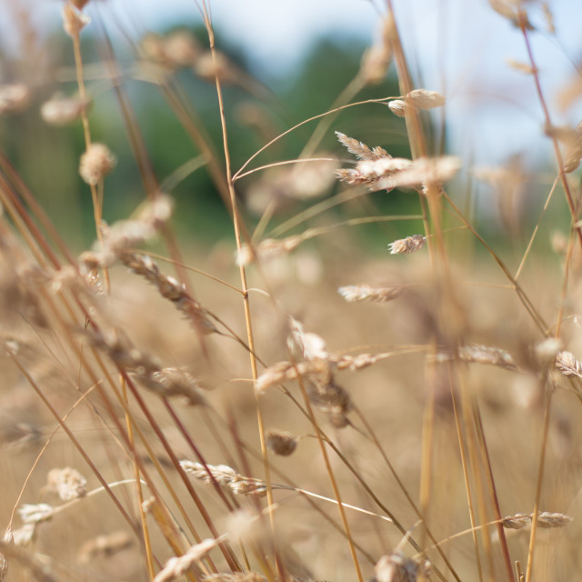 """Dried Grass Out Of Focus"" stock image"