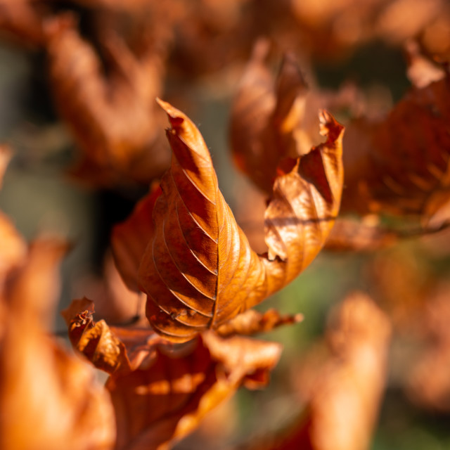 """Dried Autumn Leaves"" stock image"