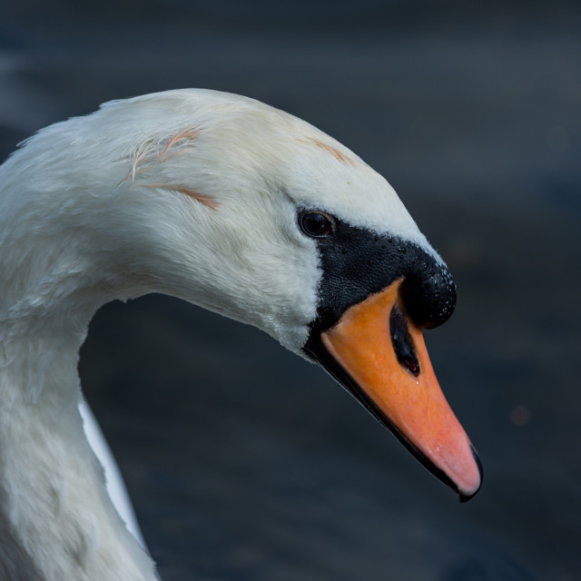 """Swan head close up on blue background"" stock image"