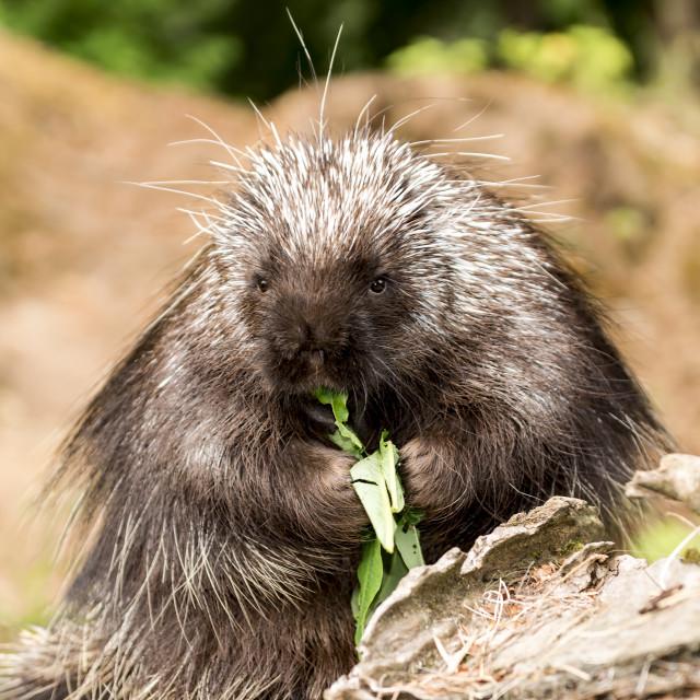 """Porcupine"" stock image"