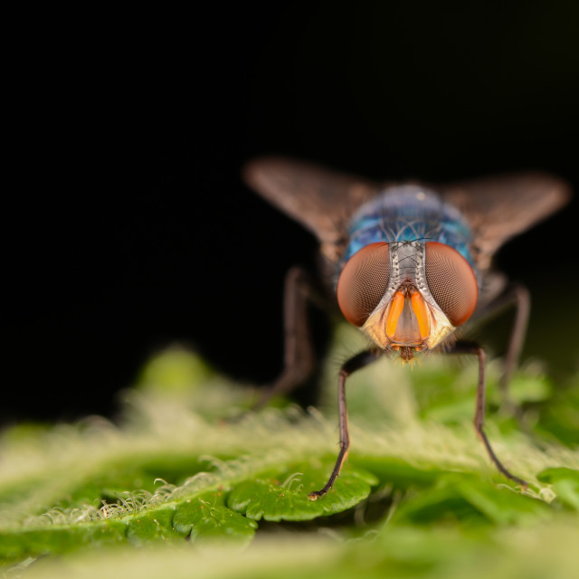 """Bluebottle Fly"" stock image"