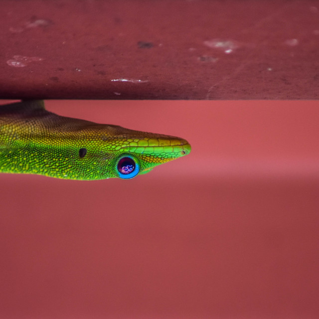 """Bright green gecko upside down"" stock image"