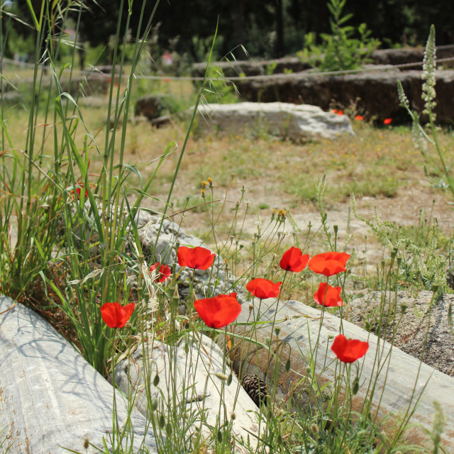 """""""Red poppies in ruins"""" stock image"""