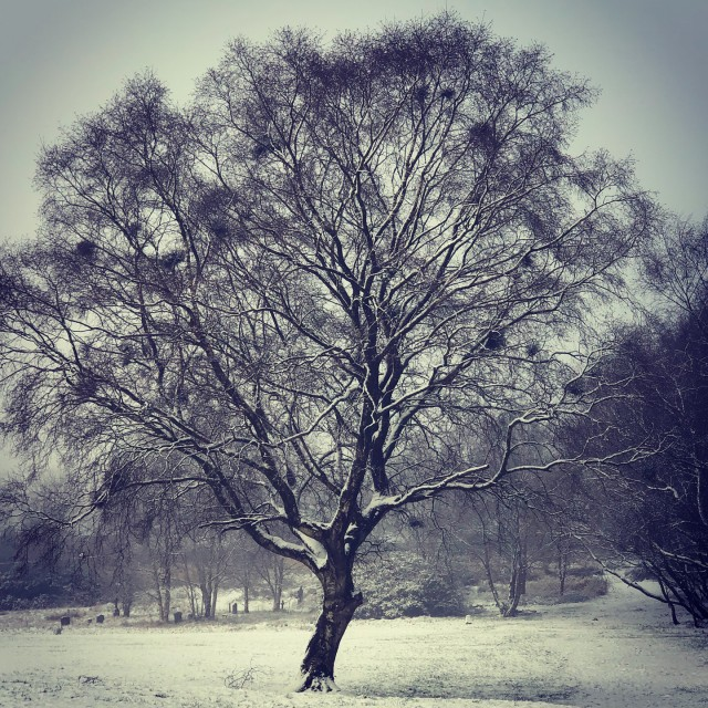 """""""Filter Snow Covered Tree"""" stock image"""