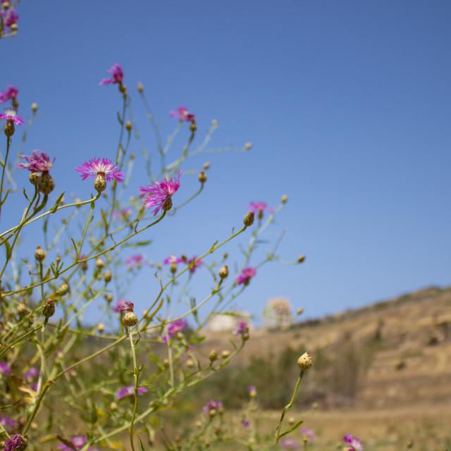 """Wild flowers on Gozo"" stock image"