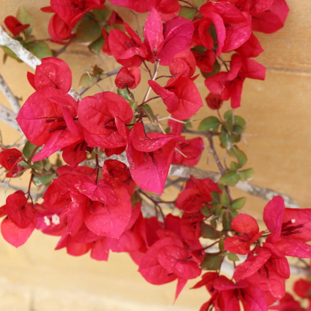 """Red bougainvillea"" stock image"