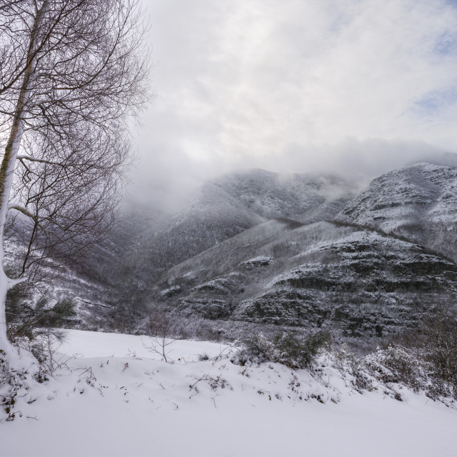 """""""A couple of birches covered in ice facing a view of snowy mounta"""" stock image"""