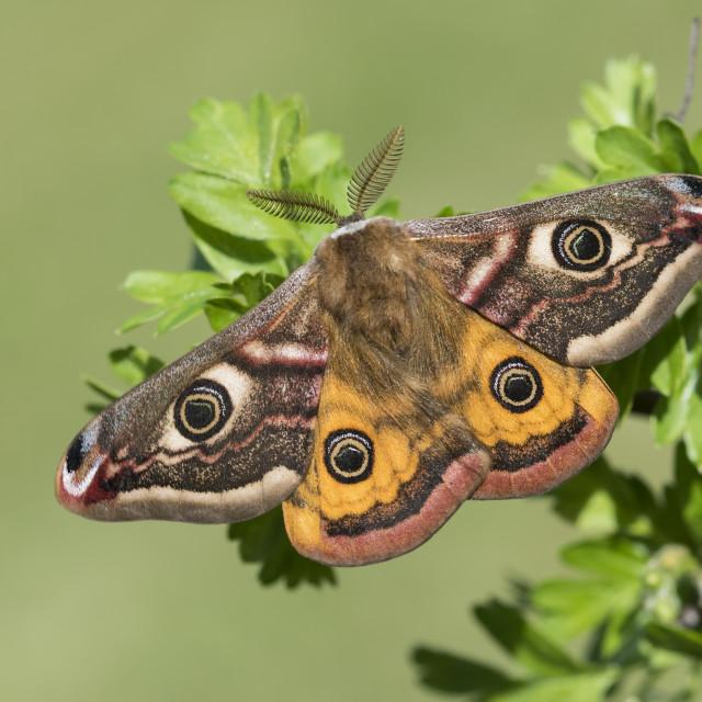 """""""Emperor Moth"""" stock image"""