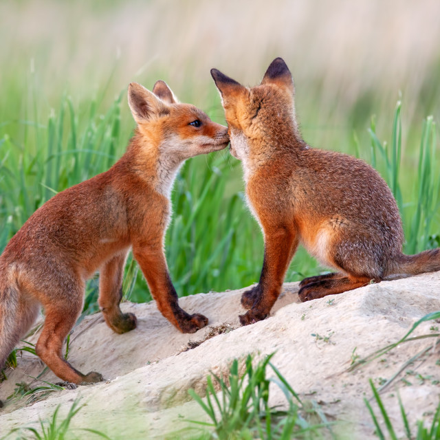 """""""Red fox, vulpes vulpes, small young cubs near den playing."""" stock image"""