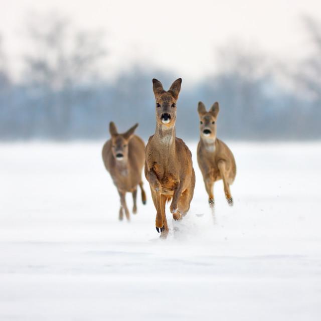 """Roe deer running in deep snow in winter"" stock image"
