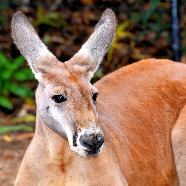 """Red Kangaroo"" stock image"