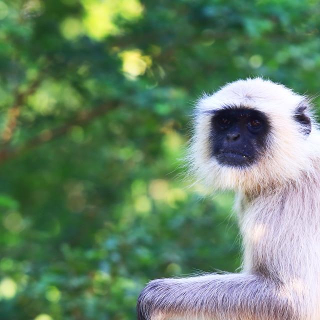 """""""Wild monkey Udaipur India"""" stock image"""
