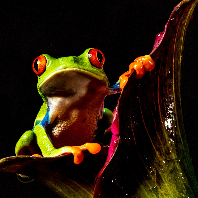 """""""Portrait of a Tree Frog"""" stock image"""