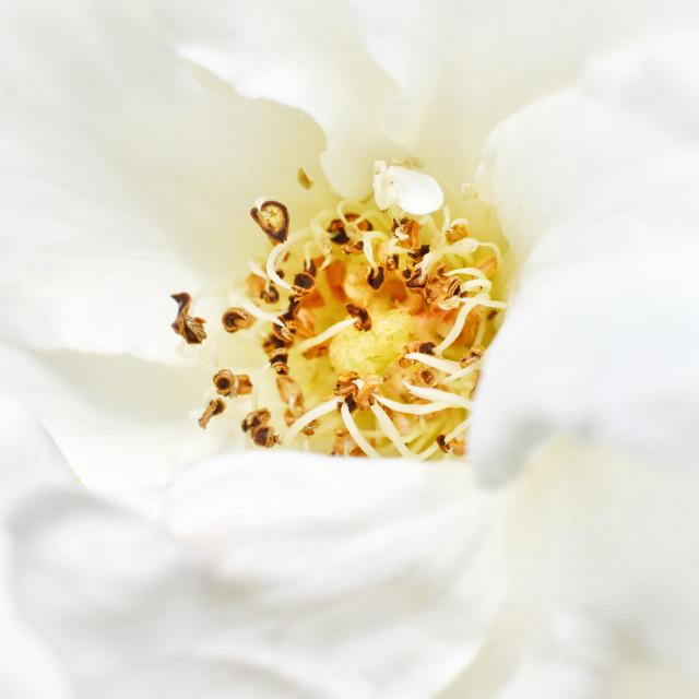 """White rose macro"" stock image"