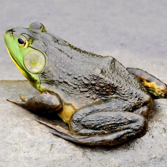 """Maine Bullfrog"" stock image"