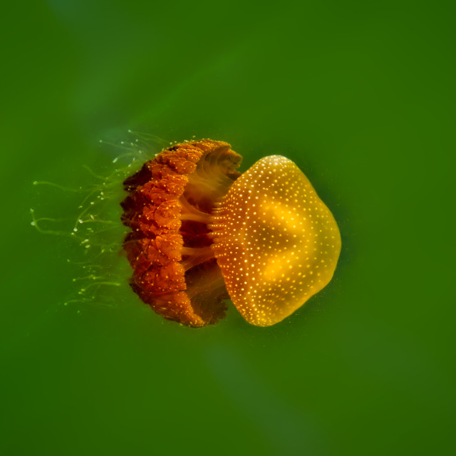 """Swan River Jellyfish"" stock image"
