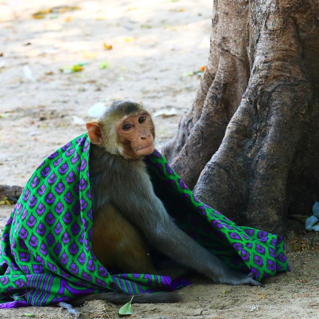"""""""Wild monkey Jaipur India"""" stock image"""